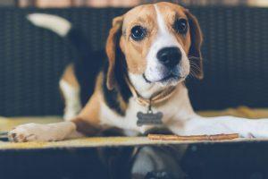 Bien vivre avec son Beagle en appartement