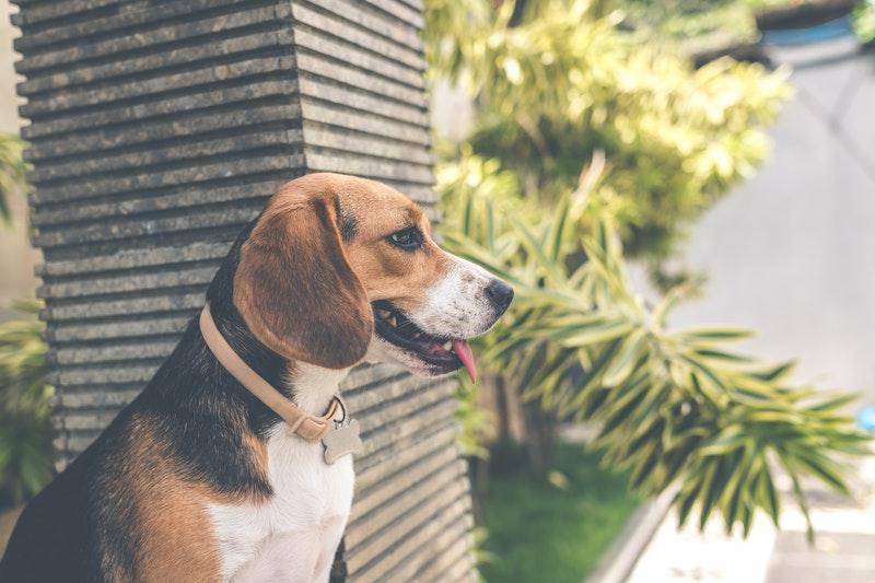 Maladie de peau chez le chien : symptômes et traitements naturels