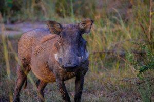 La chasse n'est plus la seule solution pour repousser les sangliers
