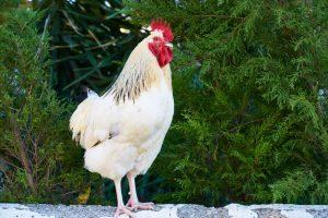Des astuces pour utiliser le vinaigre avec vos poules