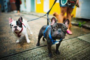 Comment balader son chien sans avoir recours à l'utilisation d'une laisse?