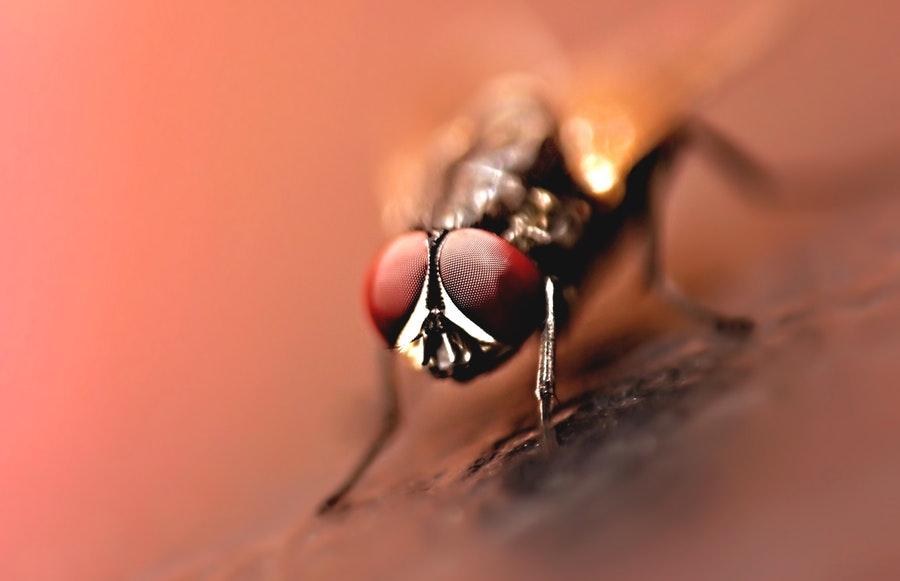 Répulsif naturel contre les mouches : les méthodes de Grand-Mère !